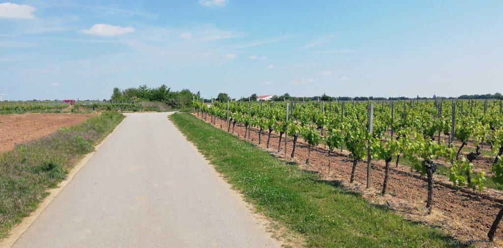 Weinberge vor Worms-Horchheim