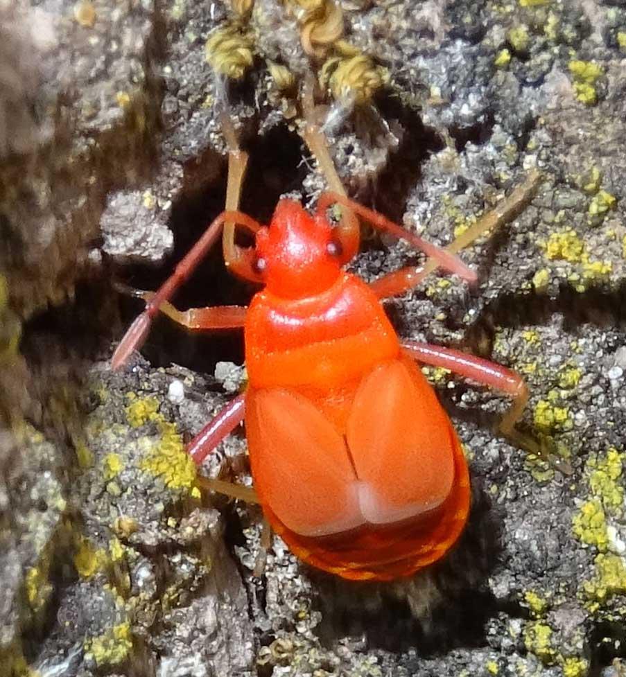 Feuerwanze (Insekten in Worms)