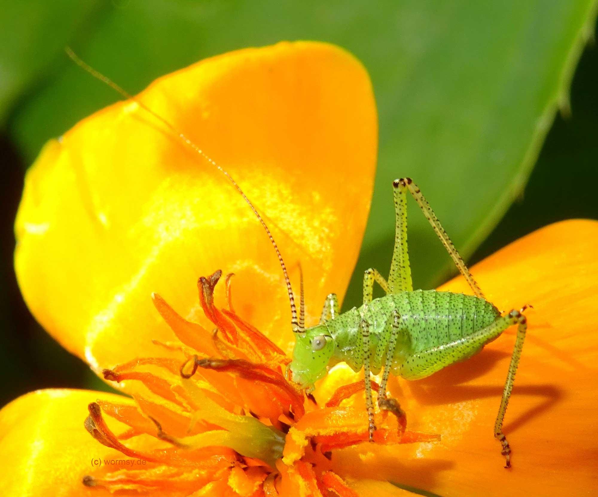 Gepunktete Zartschrecke (Insekten in Worms)