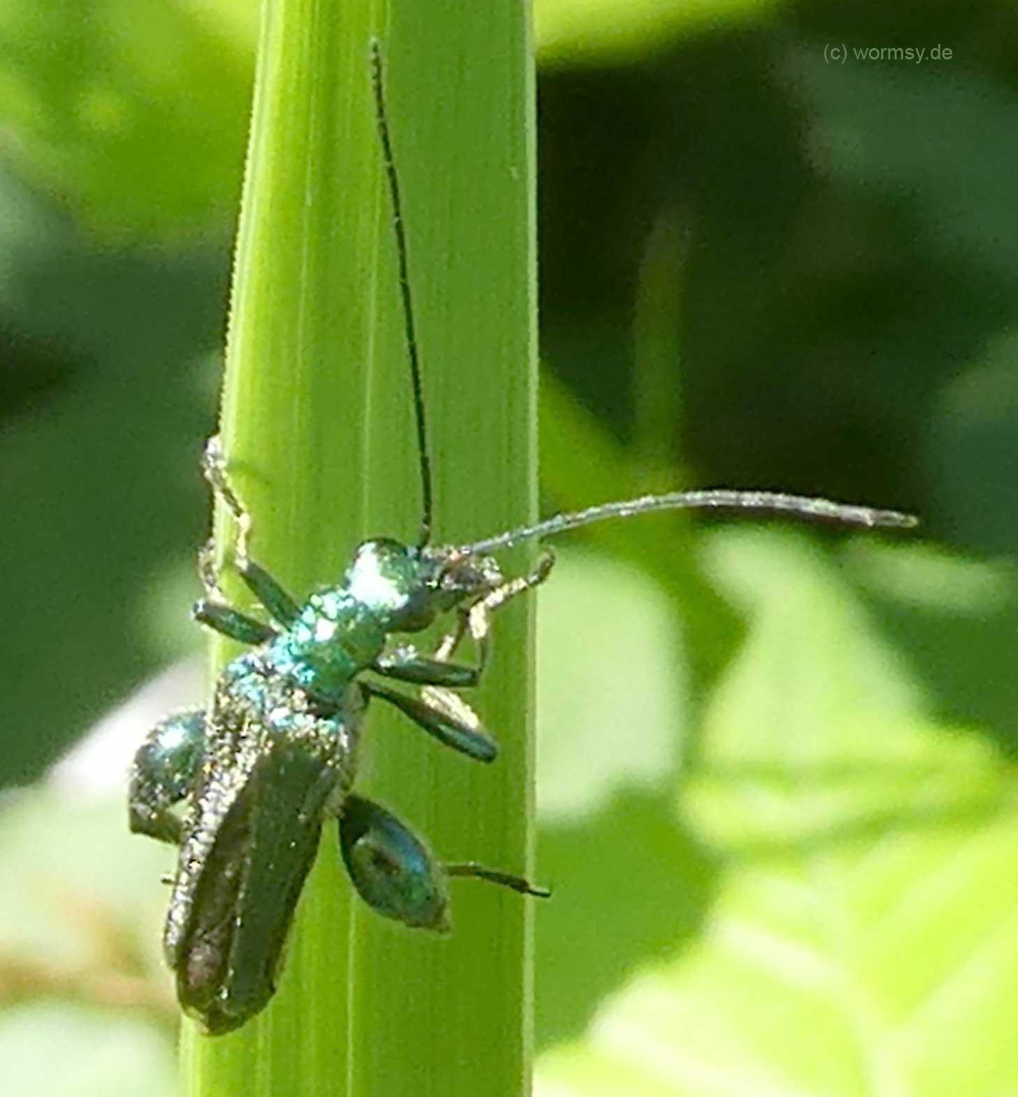 Grüner Scheinbockkäfer (Insekten in Worms)