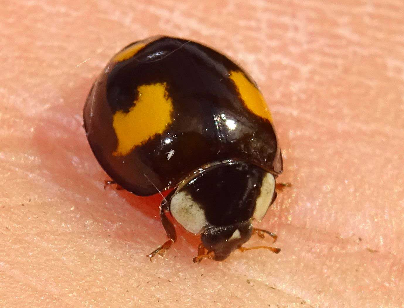 Harlekin-Marienkäfer (Insekten in Worms)