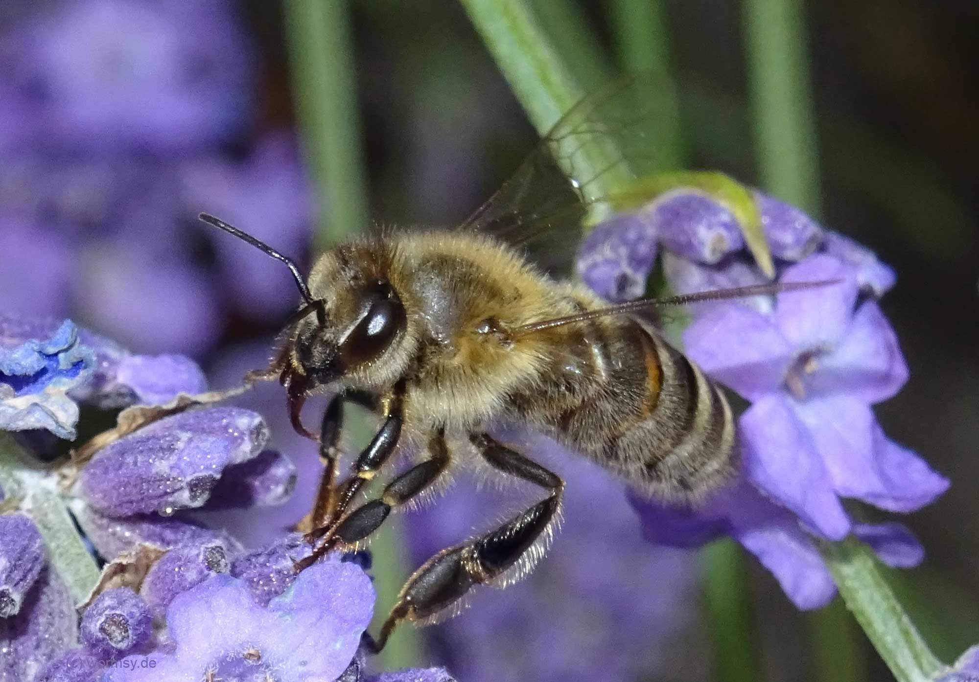 Honigbiene in Worms