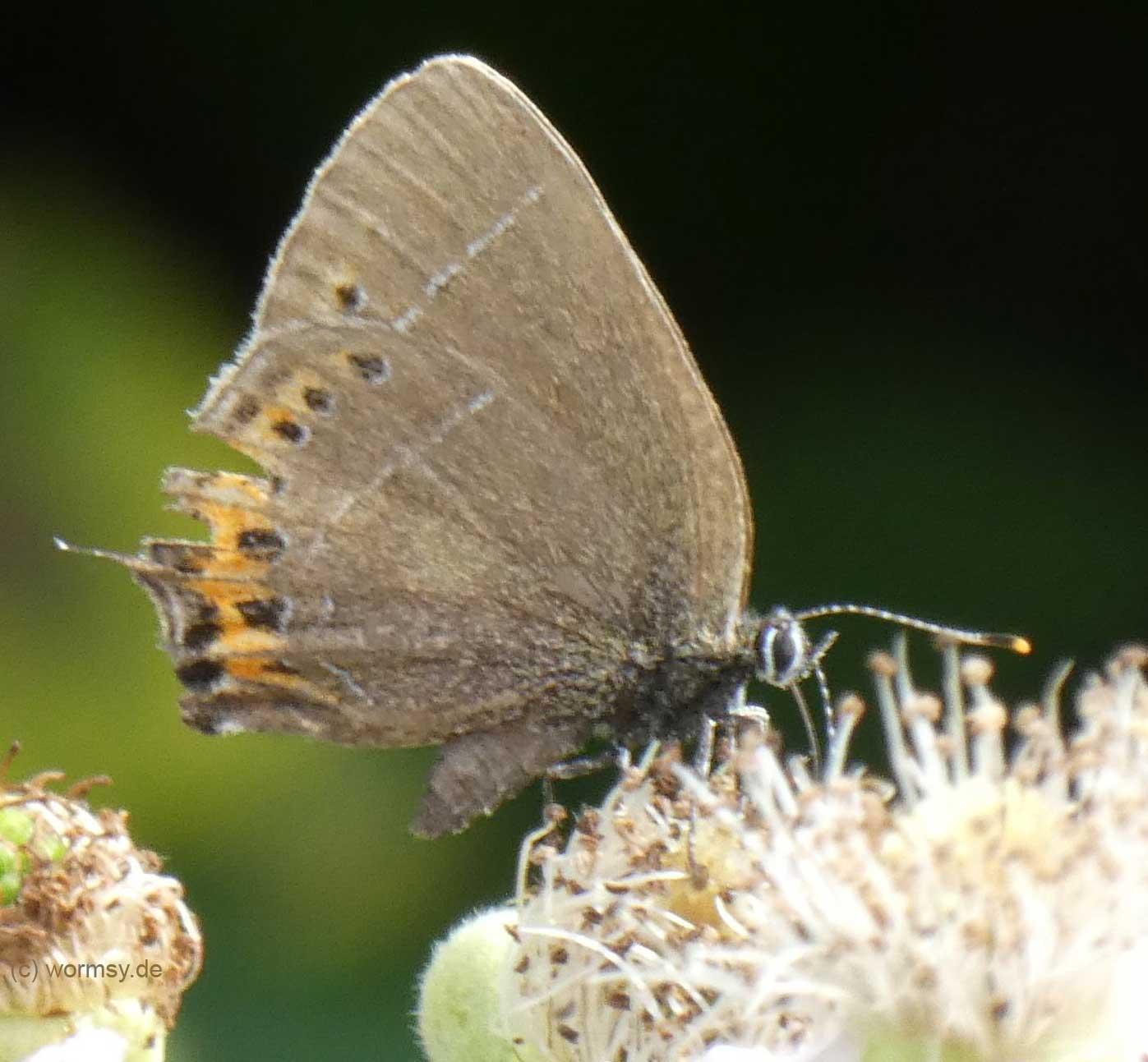 Pflaumen-Zipfelfalter (Insekten in Worms)